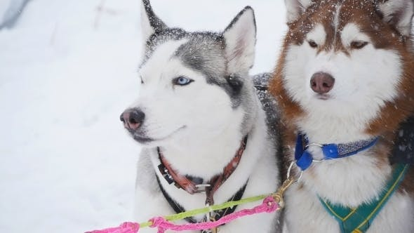 Thumbnail for A Pair Of Harnessed Sled Dogs Ready To Start