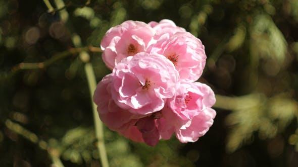 Thumbnail for Rose Flower