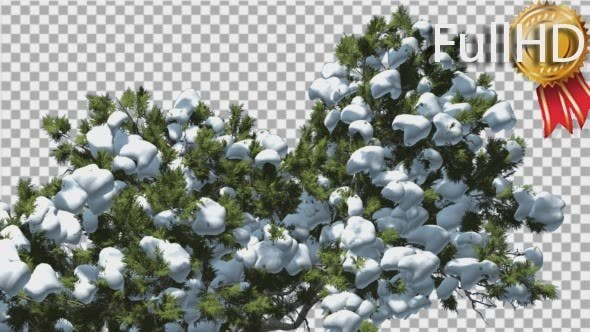 Monterey Cypress Top of Crown Snow Coniferous