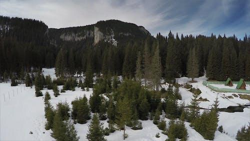Virgin Pine Trees Forest