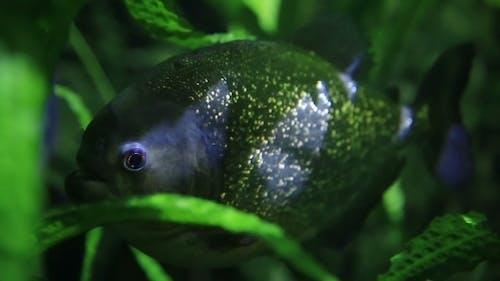 Piranha Swimming In An Aquarium