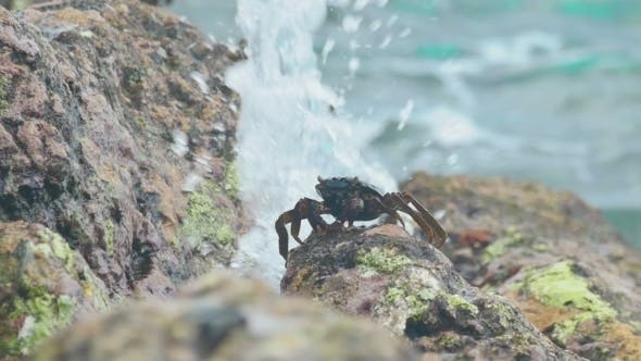 Thumbnail for Crabs And Rockskippers On The Rock At The Beach