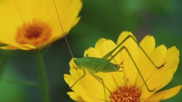 Thumbnail for Green Grasshopper On Calendula Flower
