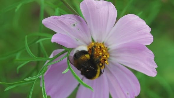 Thumbnail for Bumblebee On Cosmos Flower