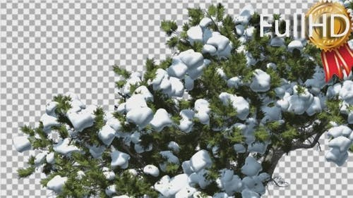 Monterey Cypress Crown Under Snow Winter