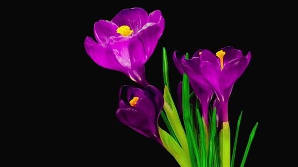 Thumbnail for Violet Crocus Flower Blooming