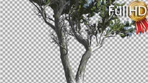 Monterey Cypress Thin Doubled Trunk Coniferous