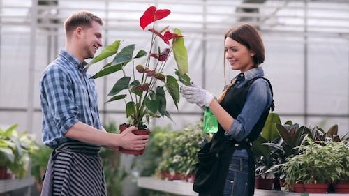 Florists Taking Care Of Anthurium