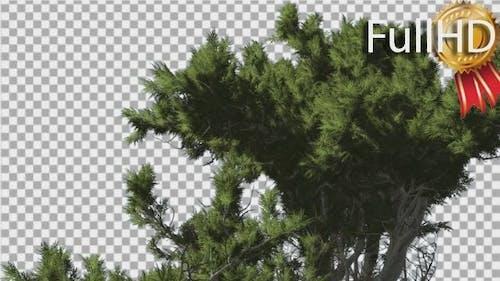 Monterey Cypress Crown Fluttering Leaves