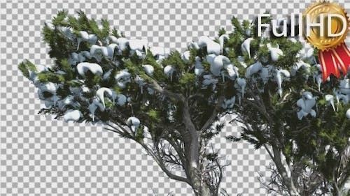 Monterey Cypress Melting Snow on a Top of Tree