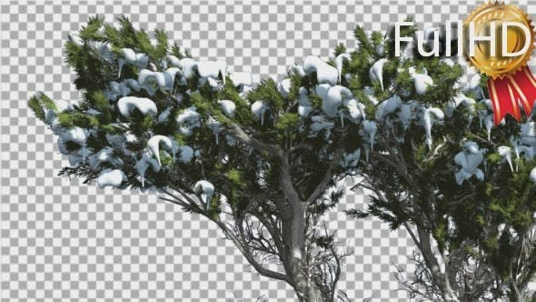 Thumbnail for Monterey Cypress Melting Snow on a Top of Tree