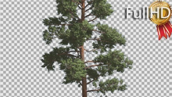 Thumbnail for Scots Pine Pinus Sylvestris Coniferous Evergreen