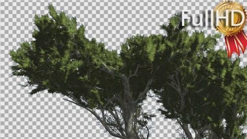Monterey Cypress Branchy Crown Coniferous