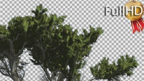 Monterey Cypress Fluttering Leaves Swaying Crown