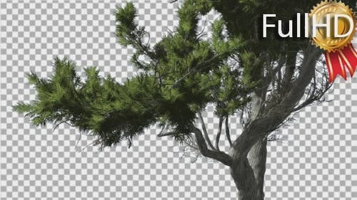 Monterey Cypress Curved Trunk and Branches