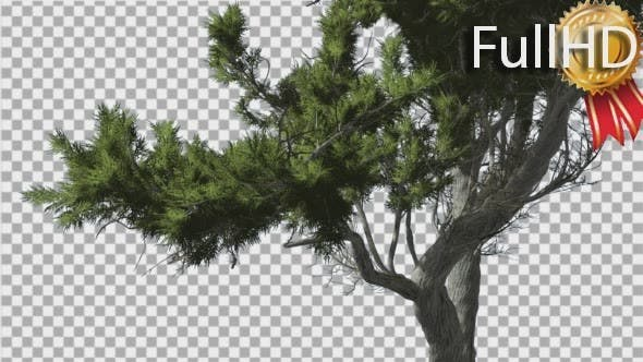 Thumbnail for Monterey Cypress Curved Trunk and Branches