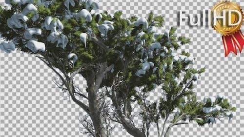 Monterey Cypress Melting Snow Coniferous