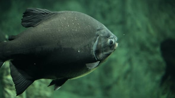 Thumbnail for Large Fish Pacu Underwater