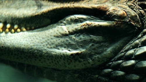 Parts Of The Alligator Underwater