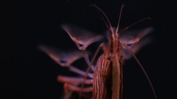 Thumbnail for Shrimp Feed Of Filter Collects Under Water