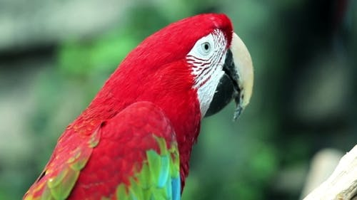 Red Macaw Head