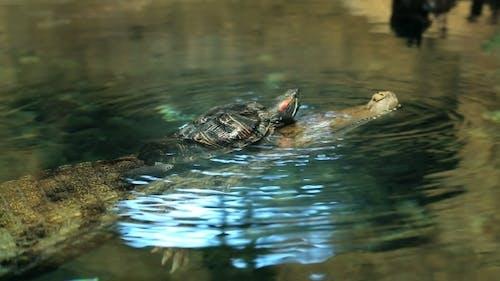 Turtle Creeps On a Crocodile