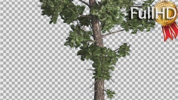 Thumbnail for Sample Conifer Pinophyta Trunk and Branches