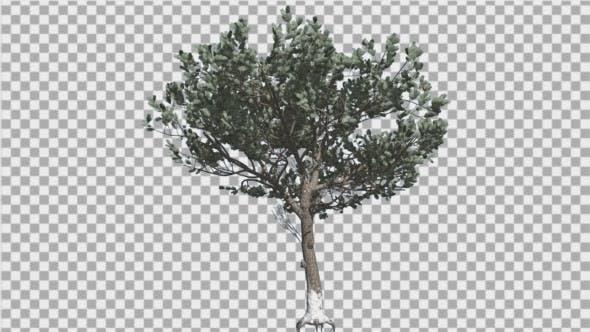 Thumbnail for Italian Stone Pine Thin Tree in Winter Coniferous