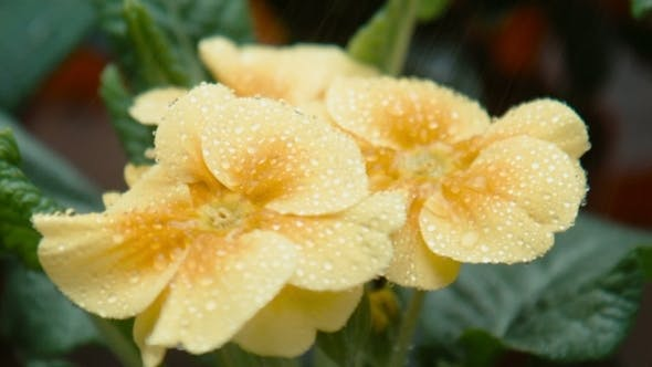 Thumbnail for Drops Of Water Fall On a Yellow Flower