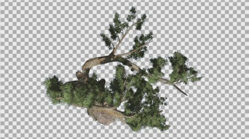 Jeffrey Pine Pinus Jeffreyi Top Down Coniferous
