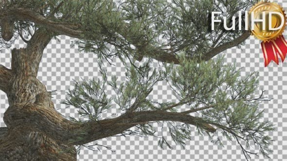 Thumbnail for Jeffrey Pine Curved Trunk Pinus Jeffreyi