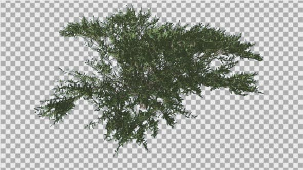 Thumbnail for Umbrella Thorn Top Down Tree is Swaying at the