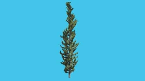 Hollywood Juniper Thin Trunk Tree Coniferous