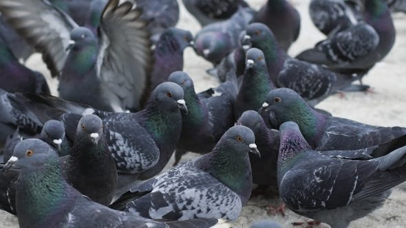 Thumbnail for Pigeons Waiting For Feed At Street