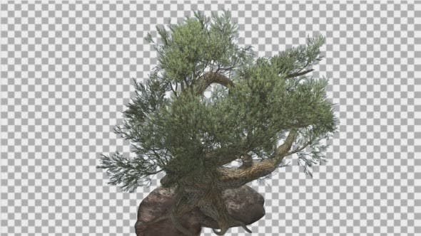 Jeffrey Pine Pinus Jeffreyi Coniferous Evergreen