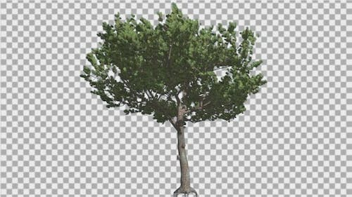 Italian Stone Pine Small Tree Roots in Summer