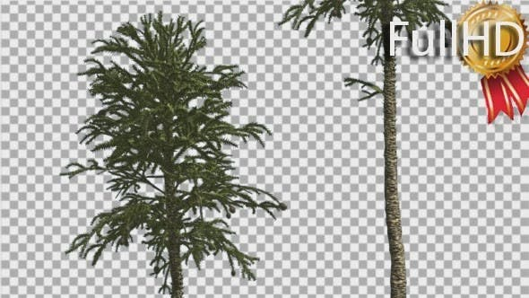 Thumbnail for Monkey Puzzle Two Thin Trees Coniferous Evergreen