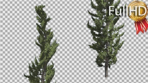 Thumbnail for Hollywood Juniper Two Thin Coniferous Evergreen