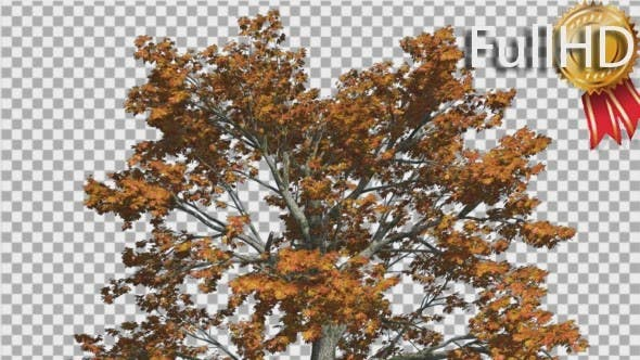 Thumbnail for Sassafras Top of the Tree is Swaying at the Wind