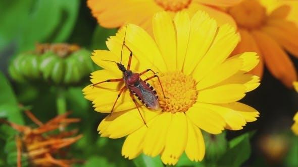 Thumbnail for Assassin Bug Rhynocoris Iracundus