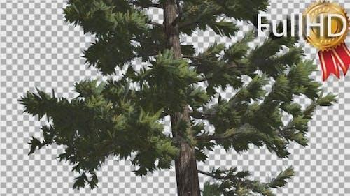 Douglas Fir Trunk Tall Tree Branches on a Top
