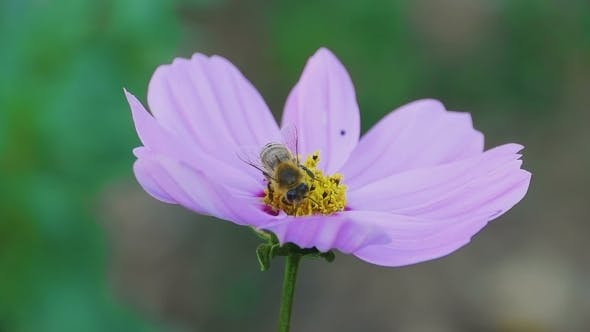 Cover Image for Bee On Cosmos Flower