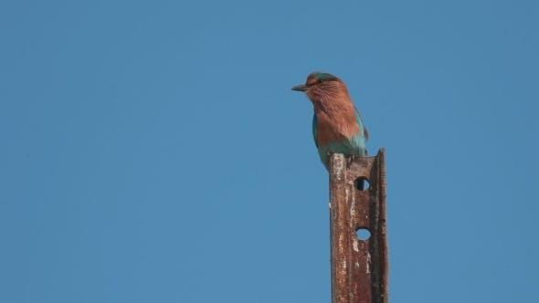 Thumbnail for Indian Roller (Coracias Benghalensis)