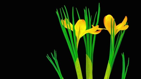 Thumbnail for Yellow Crocus Flower Blooming