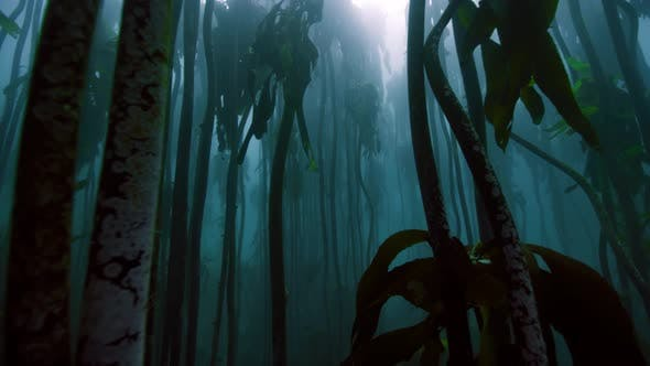 Thumbnail for Magical dive through a kelp jungle forest near Cape Peninsula, South Africa