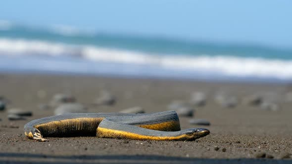Thumbnail for Tropical Yellow Sea Snake on the Sand of the Beach