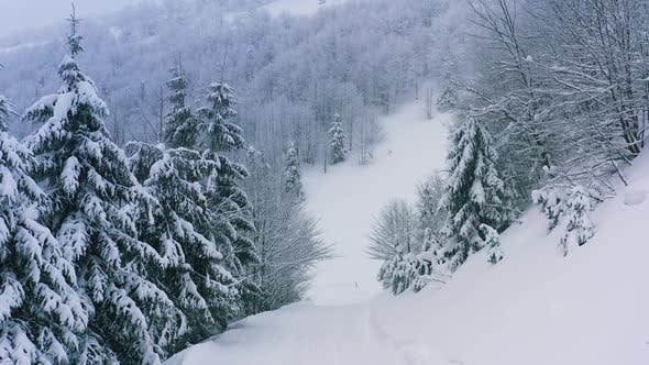 A Dense Spruce Forest Covering the Snowcapped Hills of the Carpathian Mountains and Snow Falling
