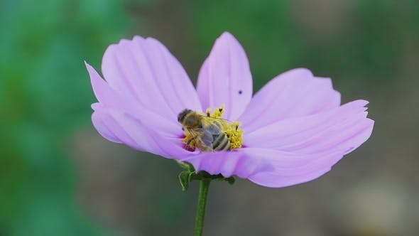Thumbnail for Bee On Cosmos Flower