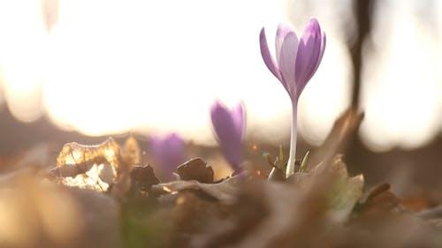 Snowdrop Flowers Lilac