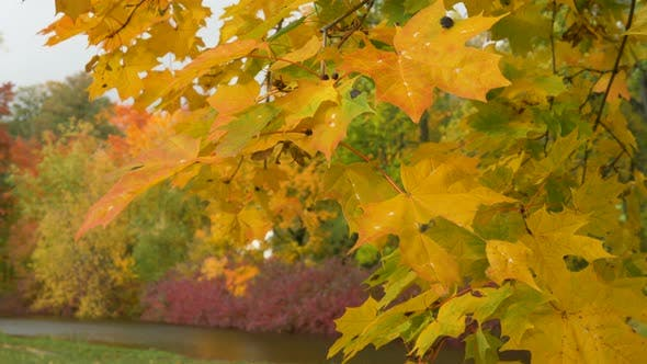 Thumbnail for Maple Tree Branches with Bright Leaves Waved By Wind in Park